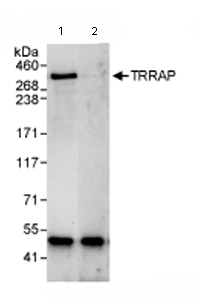 Immunoprecipitation - TRRAP antibody (ab72509)