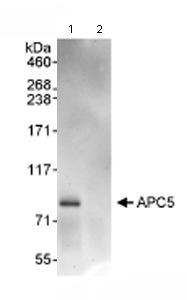 Immunoprecipitation - Apc5 antibody (ab72516)
