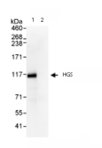 Immunoprecipitation - HGS antibody (ab72521)