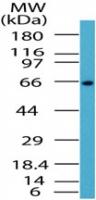 Western blot - Anti-NF-kB p65 antibody (ab72555)