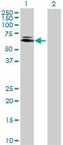 Western blot - XPNPEP3 antibody (ab72641)
