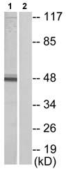 Western blot - IRX1 antibody (ab72642)