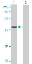 Western blot - ZNF539 antibody (ab72668)