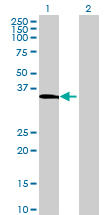 Western blot - PELI3 antibody (ab72671)