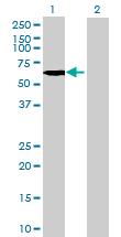 Western blot - KHDRBS2 antibody (ab72690)