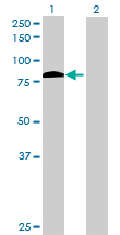 Western blot - ZFP37 antibody (ab72714)
