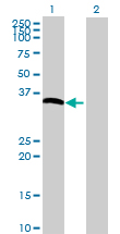 Western blot - BAT4 antibody (ab72716)