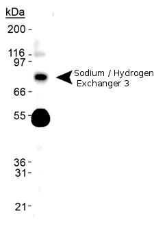 Western blot - Sodium / Hydrogen Exchanger 3 (phospho S552) antibody [14D5] (ab72729)