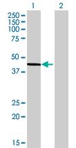 Western blot - D-aspartate oxidase antibody (ab72740)
