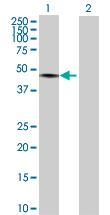 Western blot - TRIM60 antibody (ab72747)