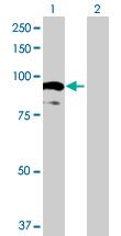 Western blot - AOC2 antibody (ab72780)