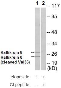 Western blot - Kallikrein 8 antibody (ab72800)