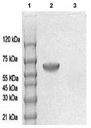 Western blot - AMPK alpha 1 (phospho T172) antibody (ab72845)