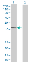 Western blot - TRUB1 antibody (ab72866)