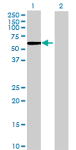Western blot - PSG4 antibody (ab72943)