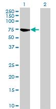 Western blot - RABGGTA antibody (ab72960)