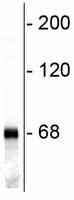 Western blot - 68kDa Neurofilament antibody (ab72997)