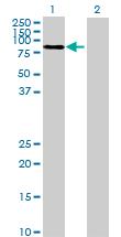 Western blot - MUC20 antibody (ab73043)