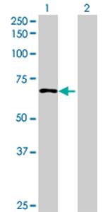 Western blot - ZNF791 antibody (ab73048)