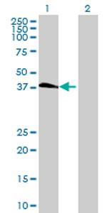 Western blot - C19orf46 antibody (ab73050)
