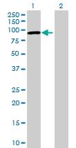 Western blot - CCDC138 antibody (ab73057)