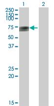 Western blot - APCDD1 antibody (ab73063)
