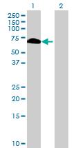 Western blot - RBMY1F antibody (ab73086)