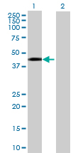 Western blot - REM2 antibody (ab73088)