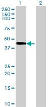 Western blot - SCRN2 antibody (ab73112)