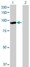 Western blot - LRSAM1 antibody (ab73113)