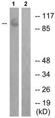 Western blot - PTPRA (phospho Y798) antibody (ab73203)