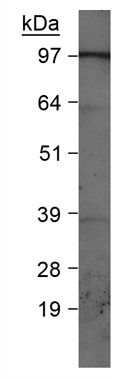 Western blot - PI 3 Kinase Class 3 antibody (ab73262)
