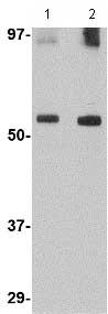 Western blot - GDF6 antibody (ab73288)