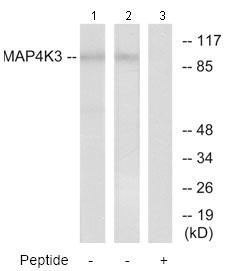 Western blot - MAP4K3 antibody (ab73364)