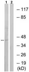 Western blot - CXCR4 (phospho S339) antibody (ab74012)