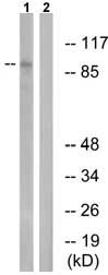 Western blot - MAPK6 (phospho S189) antibody (ab74032)