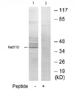 Western blot - Rad51D antibody (ab74036)