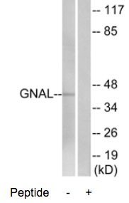 Western blot - GNAL antibody (ab74049)