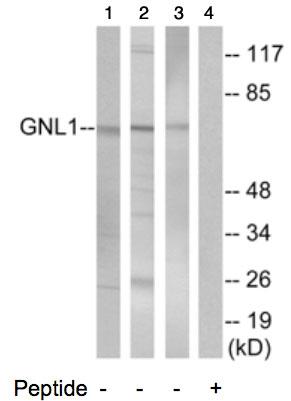 Western blot - GNL1 antibody (ab74060)