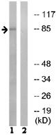 Western blot - LRP3 antibody (ab74100)