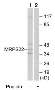 Western blot - MRPS22 antibody (ab74102)