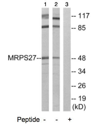 Western blot - MRPS27 antibody (ab74103)