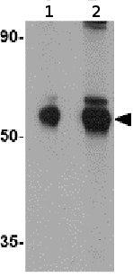 Western blot - MRPL50 antibody (ab74108)