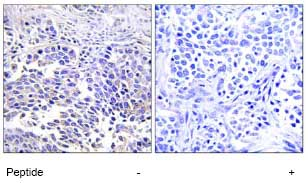 Immunohistochemistry (Formalin/PFA-fixed paraffin-embedded sections) - VGF antibody (ab74140)