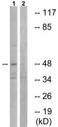 Western blot - NLE1 antibody (ab74143)