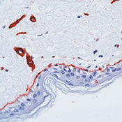 Immunohistochemistry (Formalin/PFA-fixed paraffin-embedded sections) - Laminin antibody, prediluted (ab74164)