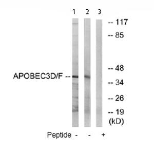 Western blot - APOBEC3D + APOBEC3F antibody (ab74205)