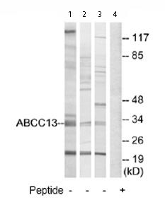 Western blot - ABCC13 antibody (ab74207)