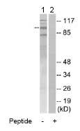 Western blot - MCM4 antibody (ab74237)