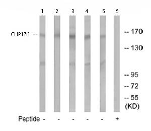 Western blot - CLIP170 antibody (ab74240)